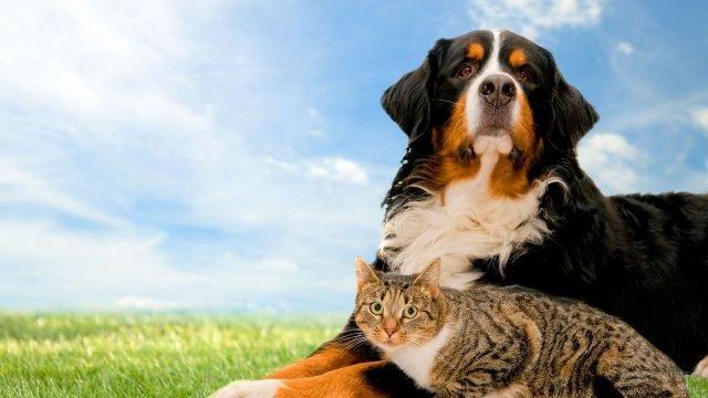 Кошка с большой собакой на лужайке
