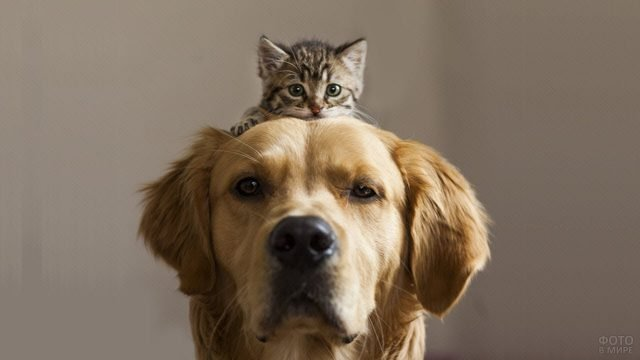 Котёнок лежит на голове собаки