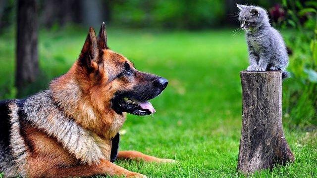 Немецкая овчарка смотрит на сидящего на пеньке котёнка