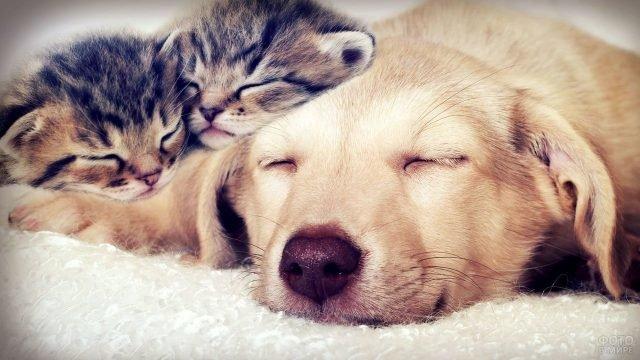 Спящий Акбаш с двумя спящими вислоухими котятами