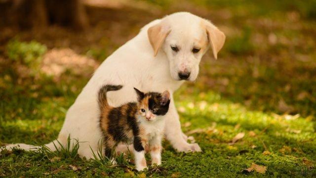 Трёхцветный котёнок с белой собакой