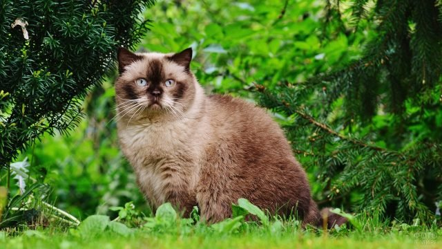 Британец коричневых оттенков в лесу под елью