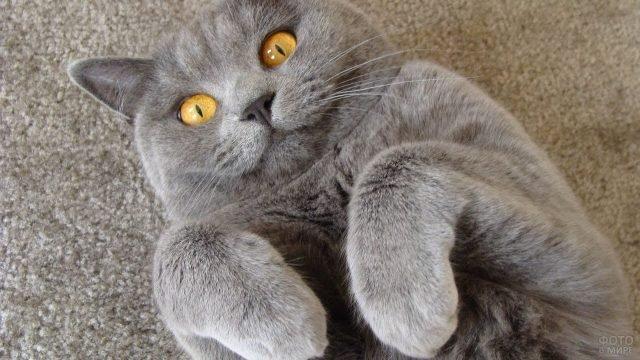 Британская кошка лежит поджав лапы