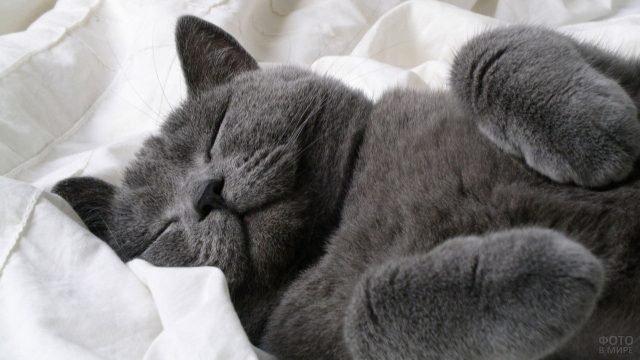 Британская кошка спит на спине