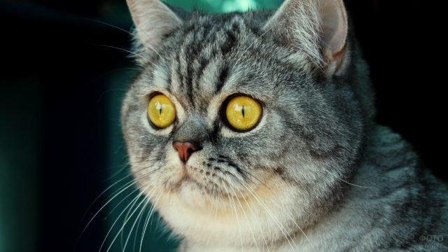 Британский кот чем-то сильно удивлён