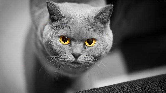 Британский кот с серьёзным взглядом