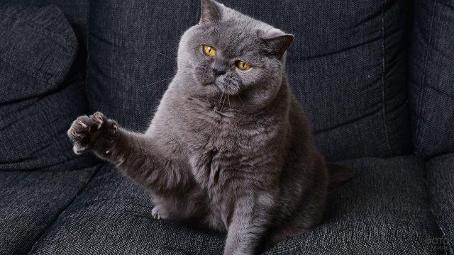 Британский кот сидит подняв лапу с выпущенными когтями