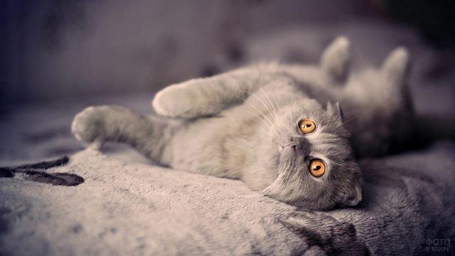Британский кот смотрит вверх