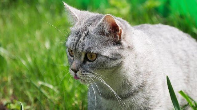 Британский кот высунул язык