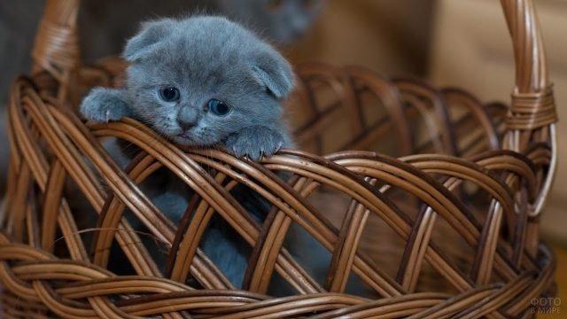 Британский котёнок вылазит из корзины
