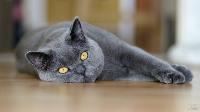 Британский серый кот лежит на полу
