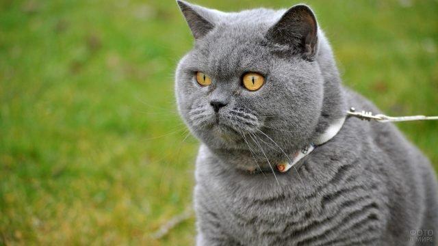 Британский серый кот на поводке