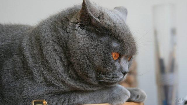 Британский серый кот задумался о чём-то