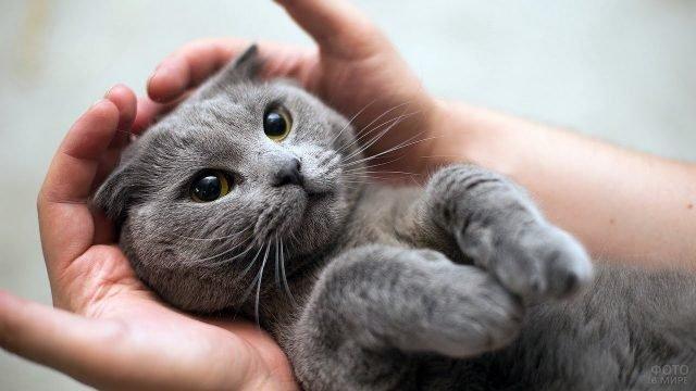 Британскую кошку держат в руках