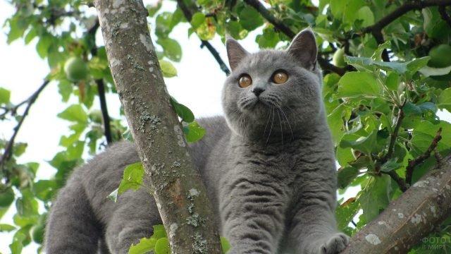 Кот британской породы залез на дерево