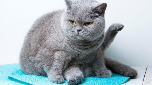 Недовольный британец сидит на голубом коврике