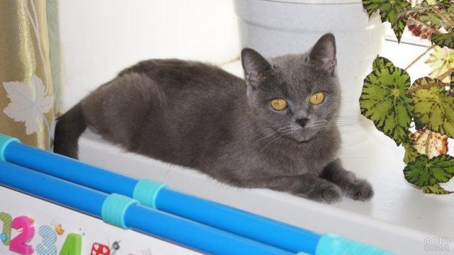 Серый котёнок сидит на окне с цветами