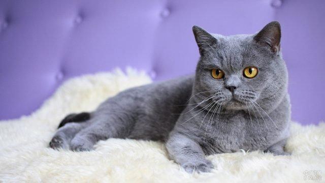 Взрослый кот лежит на пушистом пледе