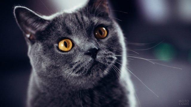 Желтоглазый кот доверчиво смотрит