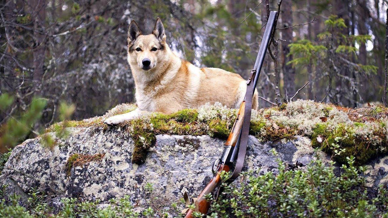 Лайка на охоте рядом с ружьём