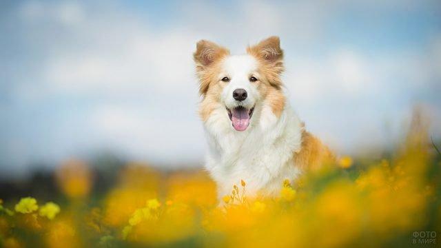 Бордер-колли гуляет по цветочной поляне