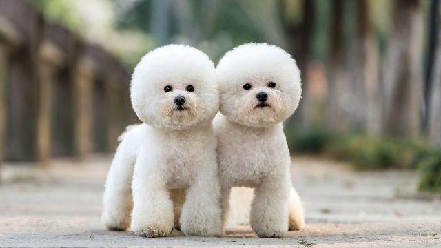 Два пуделя гуляют на свежем воздухе