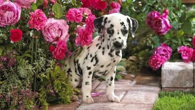 Маленький долматинец в окружении роз