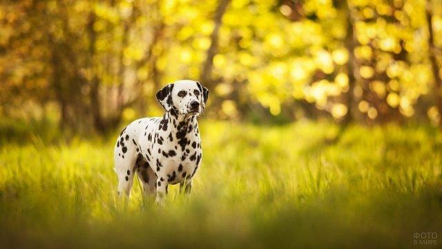 Пёс далматин гуляет на зелёной лужайке