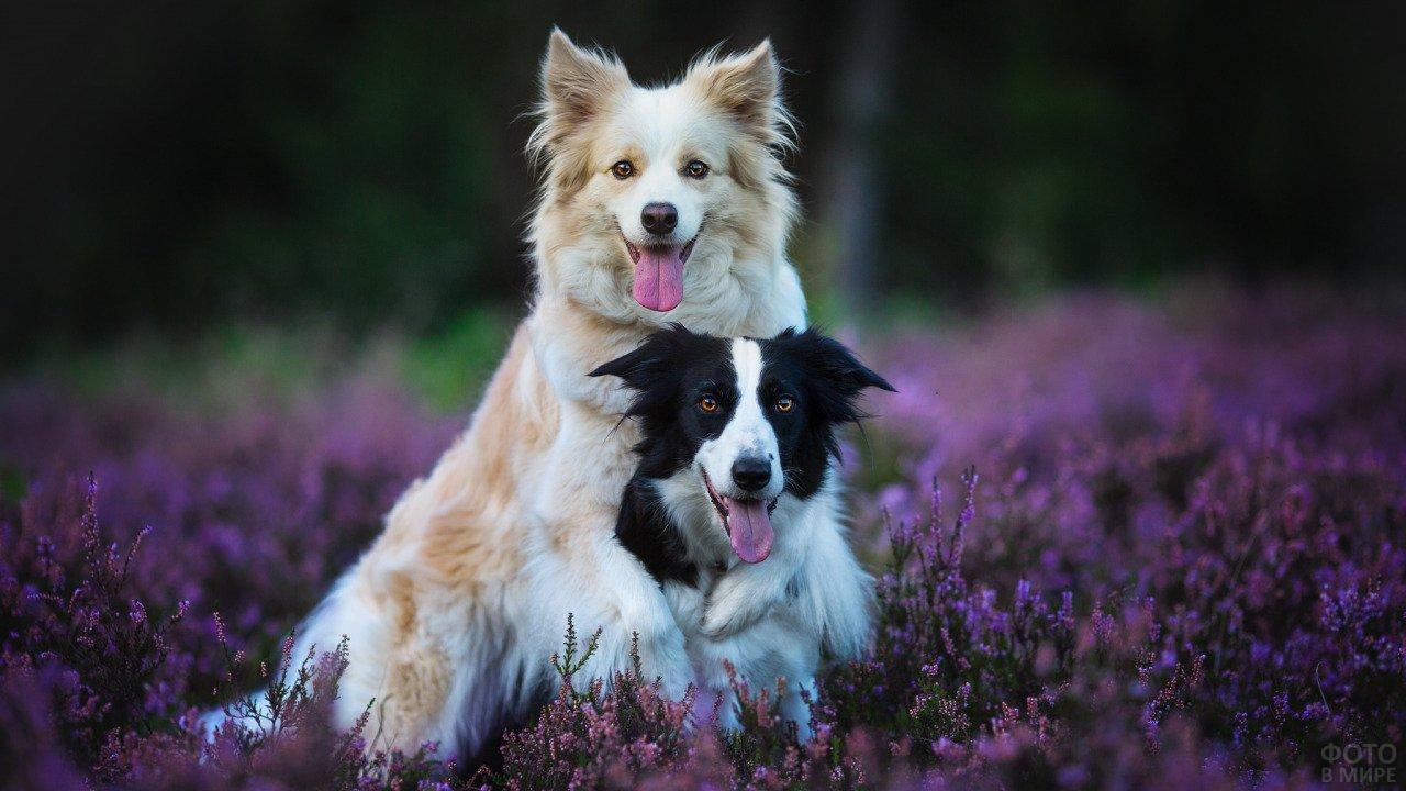 Собачки бордер-колли позируют на цветочном поле