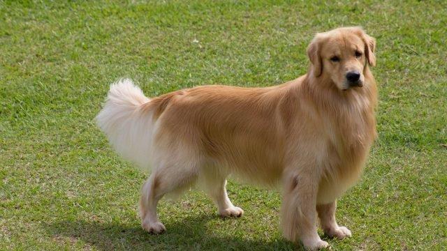 Собака голден ретривер гуляет на свежем поздухе