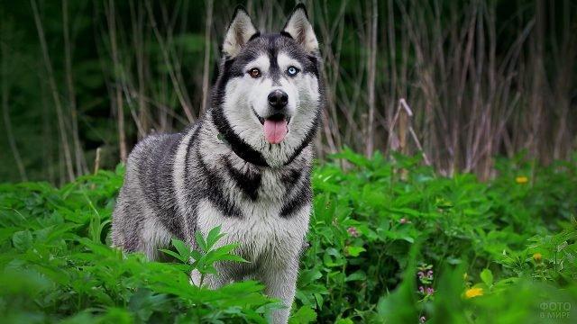 Собака хаски среди зелёной флоры