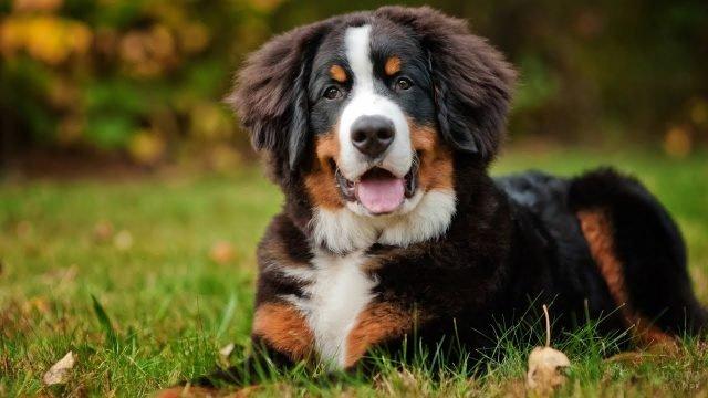 Собака зенненхунд отдыхает на зелёной травке