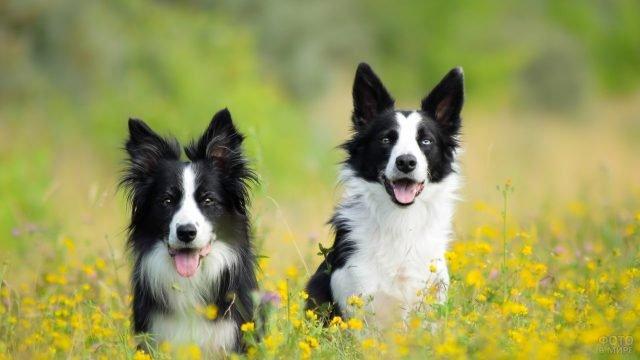 Собаки бордер-колли на цветочной поляне