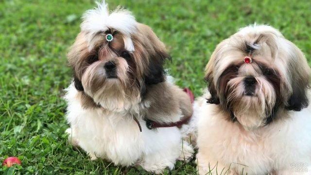 Собаки ши-тцу с цветными заколками на зелёной травке
