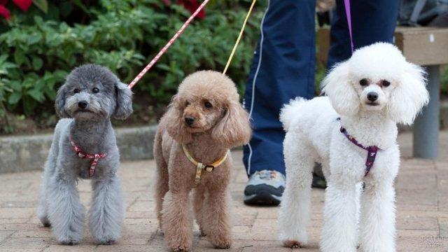 Три пуделя на прогулке со своим хозяином