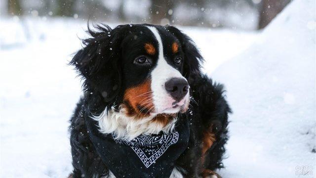 Зенненхунд с платком на шее на зимней прогулке