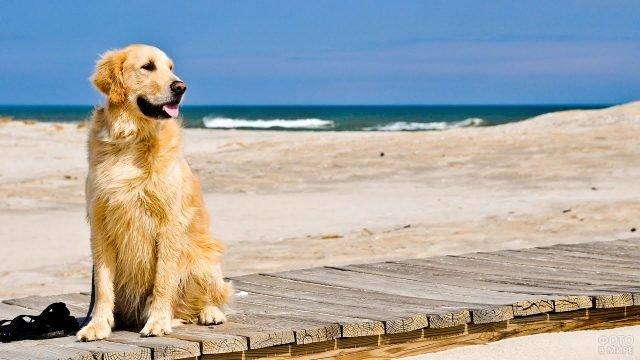 Золотистый ретривер сидит на пирсе у моря