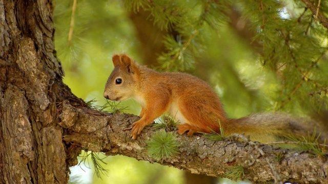 Бельчонок сидит на ветке хвойного дерева