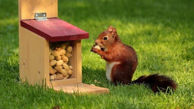 Белка ест орешки из кормушки