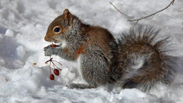 Белка грызёт ягоды на снегу