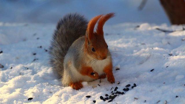 Белка грызёт семечки на снегу