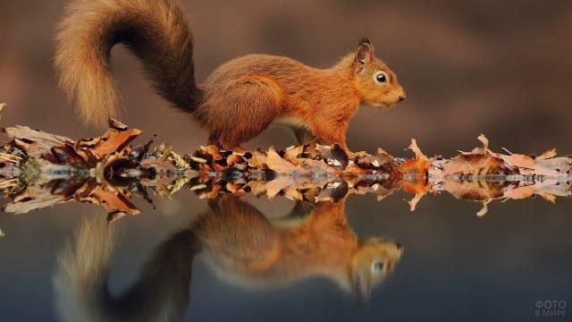 Белка с осенними листьями отражается в воде