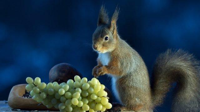 Белка с виноградом
