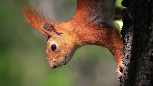 Белка спускается по стволу дерева