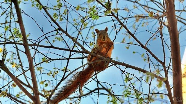 Белка весной в ветвях дерева