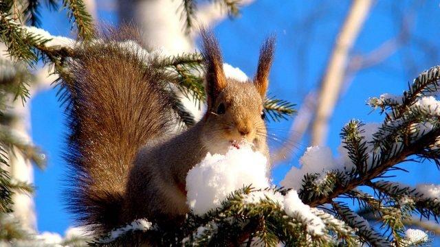 Белка зимой на еловой ветке