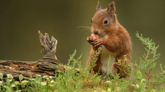 Белочка грызёт лесной орех