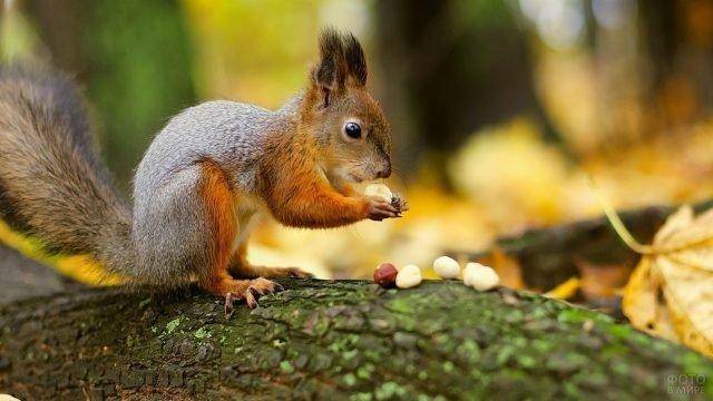 Белочка грызёт орешки на дереве