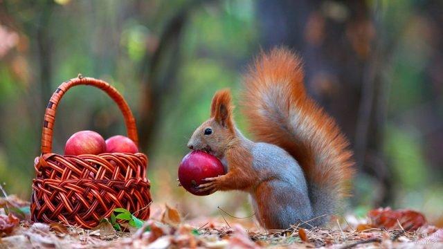 Белочка и корзина яблок