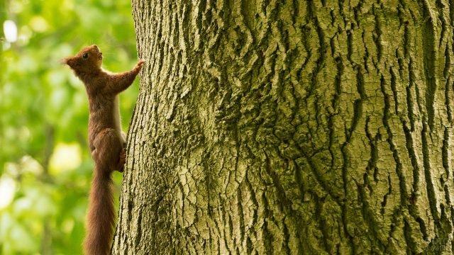 Белочка лезет на дерево